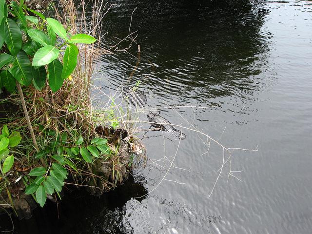 Alligator swimming in the Everglades