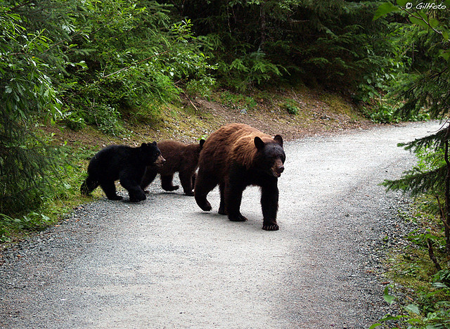 A mother bear will stop at nothing to protect her cubs