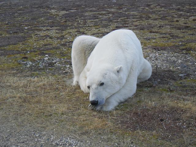 Polar bears are the most aggressive bears