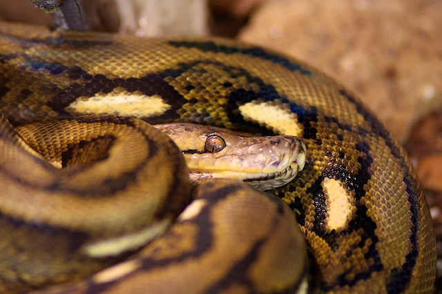 Escaped snakes can become dangerous predators