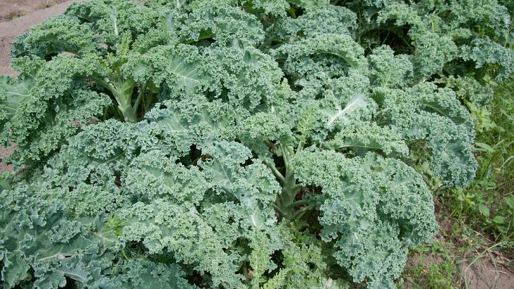 Kale is a great detox food